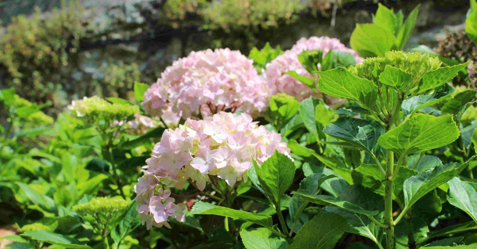 Las hortensias en Santander y su floración