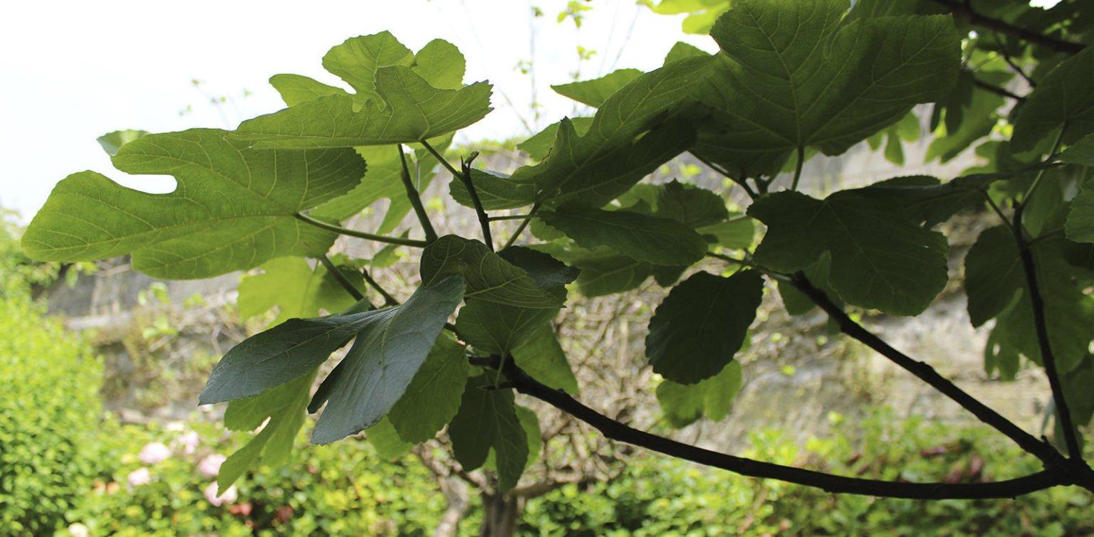 Higuera en jardín privado en Santander